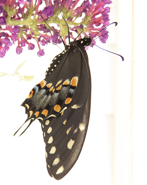 swallowtail-june-23