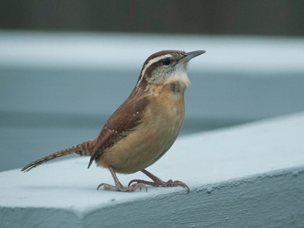 carolina-wren-nov-29