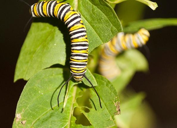 caterpillar-august-10