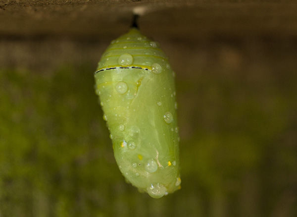 chrysalis-august-13