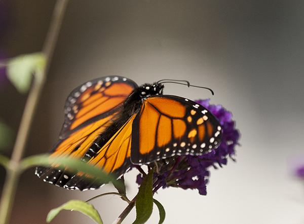 monarch-october-14