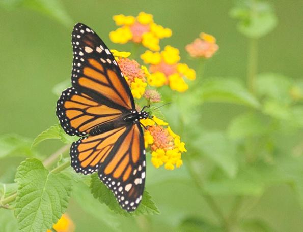 monarch-sept-9