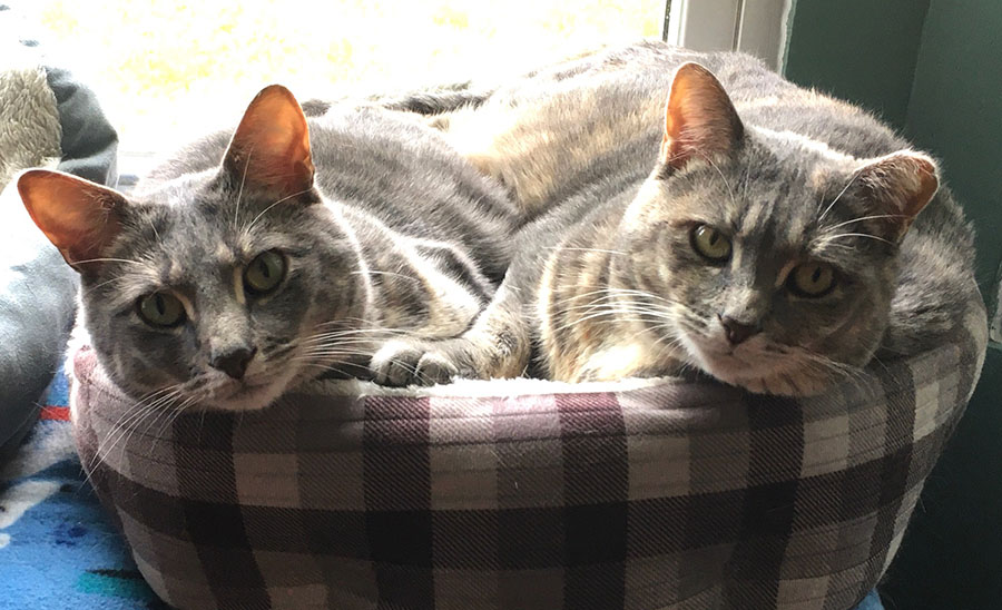 Two cats, Marie and Duchess, are looking at the camera from their positions curled up together in a gray checked cat bed. They were asleep together and just woke up. Their expressions indicate they are interested in the camera.