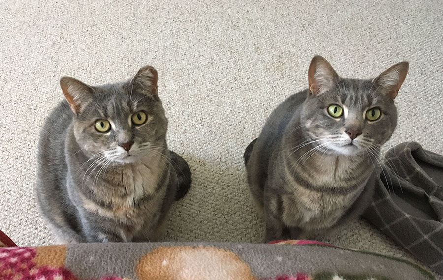 Marie and Duchess sitting on a carpeted floor, looking up at the camera. Marie is a pale gray watermarked tabby cat. Duchess is a pale gray and orange tortoiseshell cat with a clipped left ear.