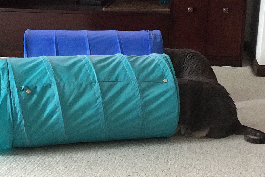 Two cats, Marie and Duchess, are sitting on a carpeted floor, looking into their wire and canvas expandable play tunnels. One tunnel is green, the other is blue. Their heads and shoulders are fully inside the tunnels, so only their backs and tails are visible.