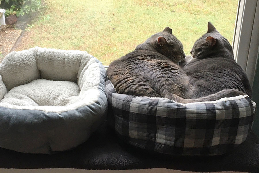 Two cats, Marie and Duchess, are sleeping together in a cat bed in front of a window. The cat bed is slightly too small for both of them to fit comfortably, so they look slightly uncomfortable. Beside them, there is a second cat bed, which is empty.