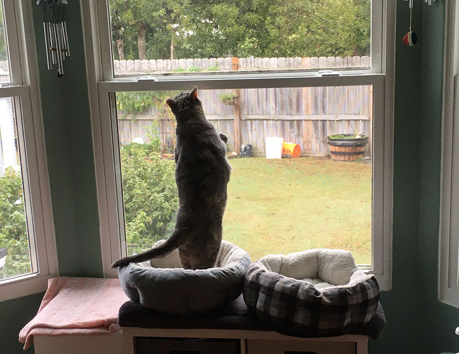 A slightly overweight cat (sorry, Duchess, but it's true) is standing on her hind legs with her front feet braced against a closed window. She is silhouetted, and grass, shrubbery, and a wooden fence are visible outside.