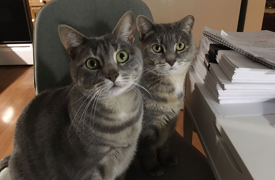Two cats, Marie and Duchess, are looking at the camera while sitting on a gray desk chair that is in front of a white desk. The desk is stacked with papers and a spiral notebook. Marie is a pale gray watermarked tabby cat. Duchess is a pale gray and orange tortoiseshell cat with a clipped left ear.