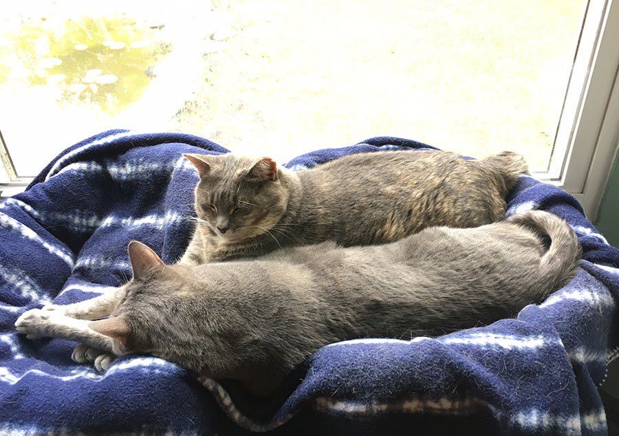 Two gray cats, Marie and Duchess, are stretched out together on a blue tie-dyed blanket in front of a window. Marie is asleep with her front feet extended, and Duchess is almost asleep, holding her head up, still, but her eyes are closed.