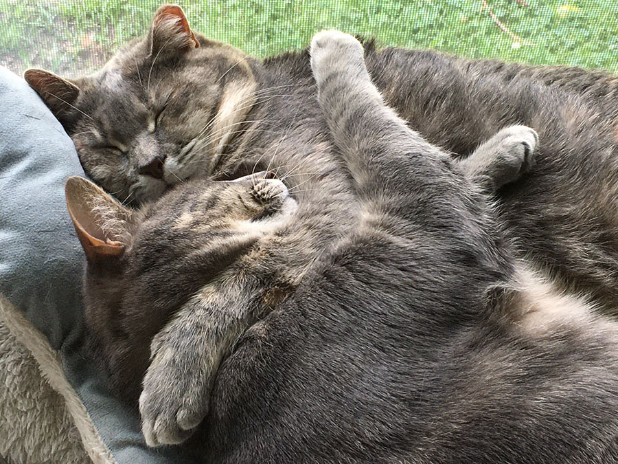 Two pale gray cats, Marie and Duchess, are sleeping facing each other. Duchess has one front foot wrapped over Marie's neck, and Marie has both front feet propped on Duchess's chest. They are in front of a window, and grass is visible in the background.