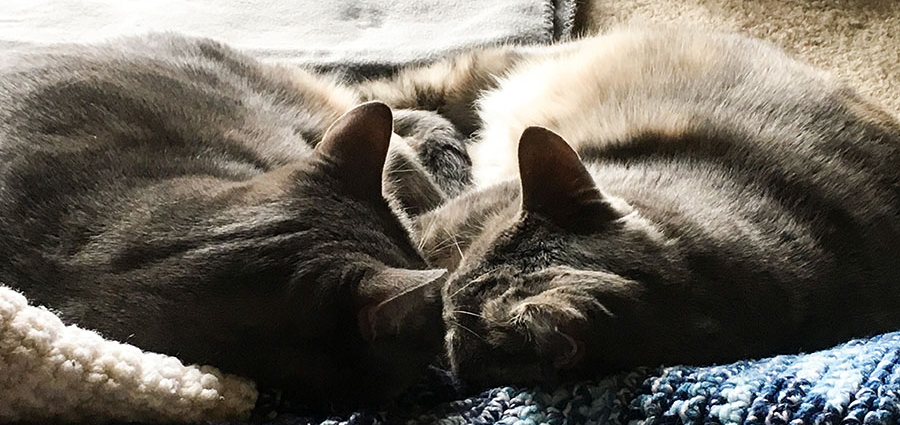 Two gray cats, Marie and Duchess, are sleeping nose-to-nose curled up together on blanket. The camera is very close to their heads, so their ears are prominently visible.