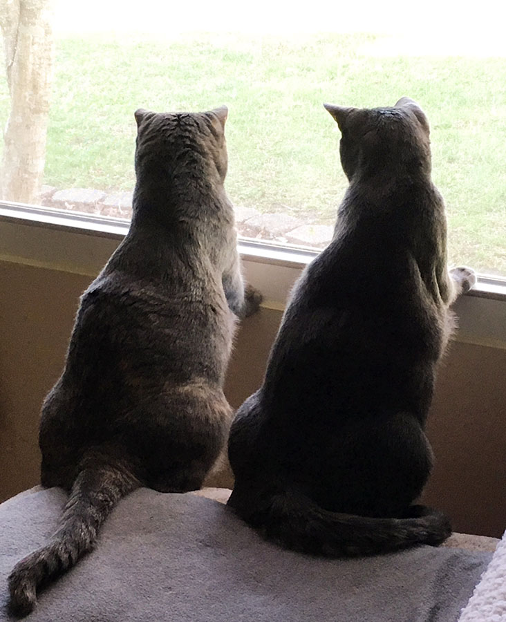 Two cats, Marie and Duchess, are sitting on a gray blanket with their backs to the camera, looking out of a window. Both have their front feet on the window sill. The tension in their bodies indicates that they are very interested in whatever is off-camera, outside the window.